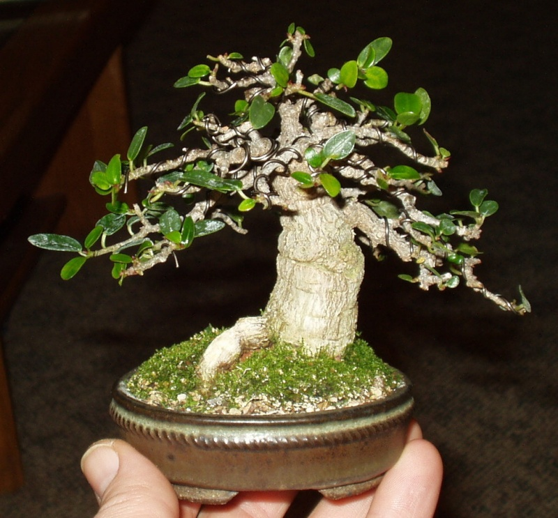 Burt Davii ficus progression shots 15_bur10