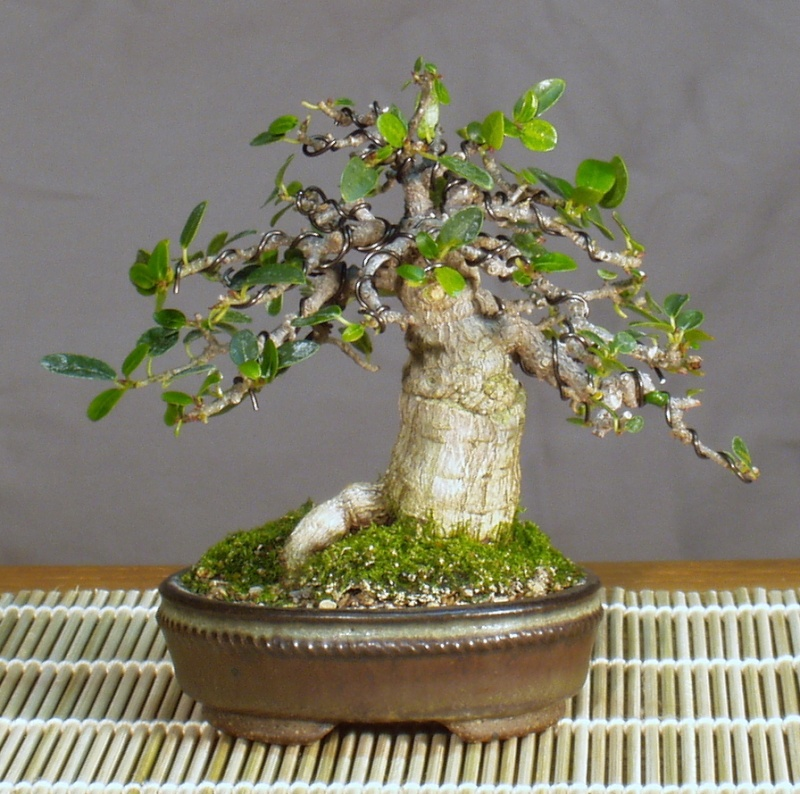 Burt Davii ficus progression shots 20_bur10