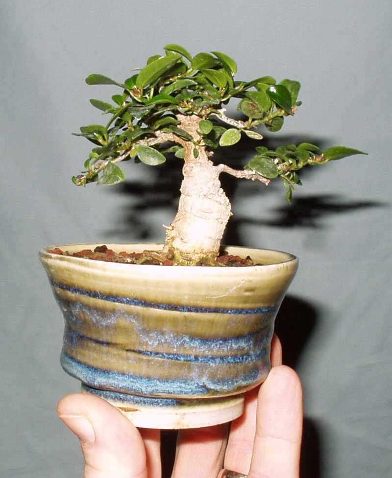 Burt Davii ficus progression shots 3_200510