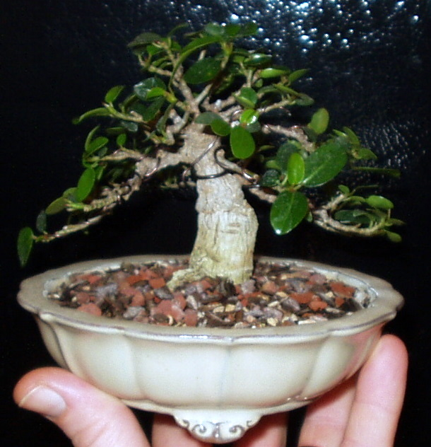 Burt Davii ficus progression shots 4_200610