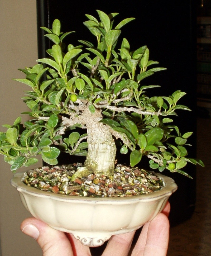 Burt Davii ficus progression shots 6_8-1810