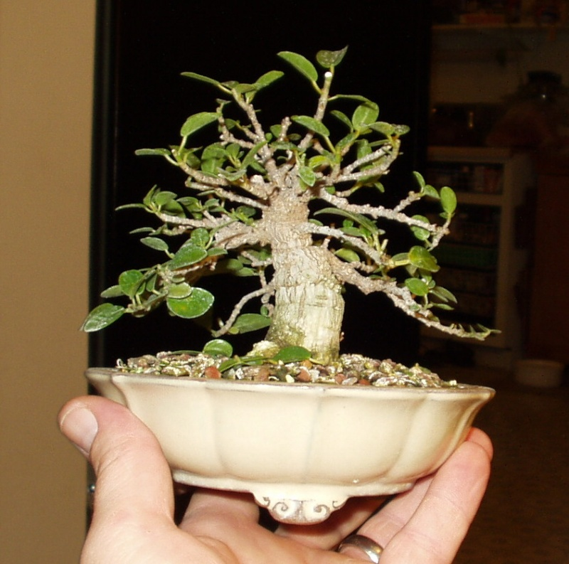 Burt Davii ficus progression shots 7_8-1810