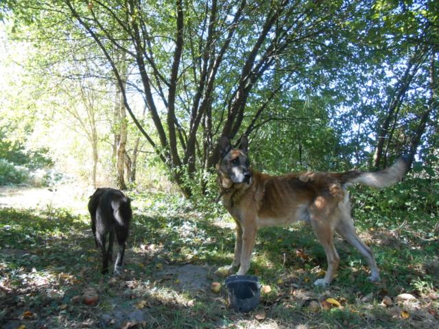 ALFA - x berger malinois 12 ans - CDA à Cabries (13)  ou Rosalie Provence (83)  eligible famille d'accueil Alpha_11