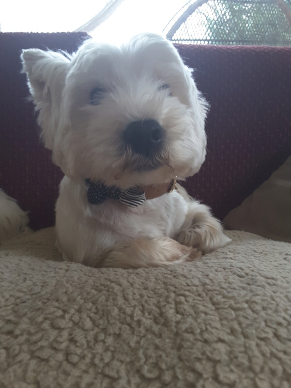 Jimmy dit Jim, westie atopique - Page 2 20190311