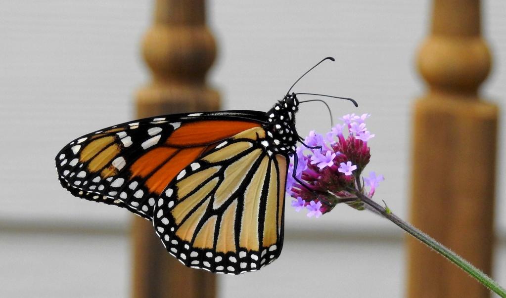 Fil ouvert - Proxi - Papillons - Page 11 2018-038