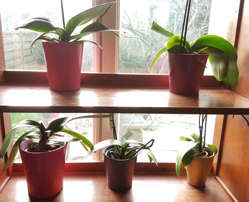 Mes orchidées et leur lieu de culture à la maison  20190310