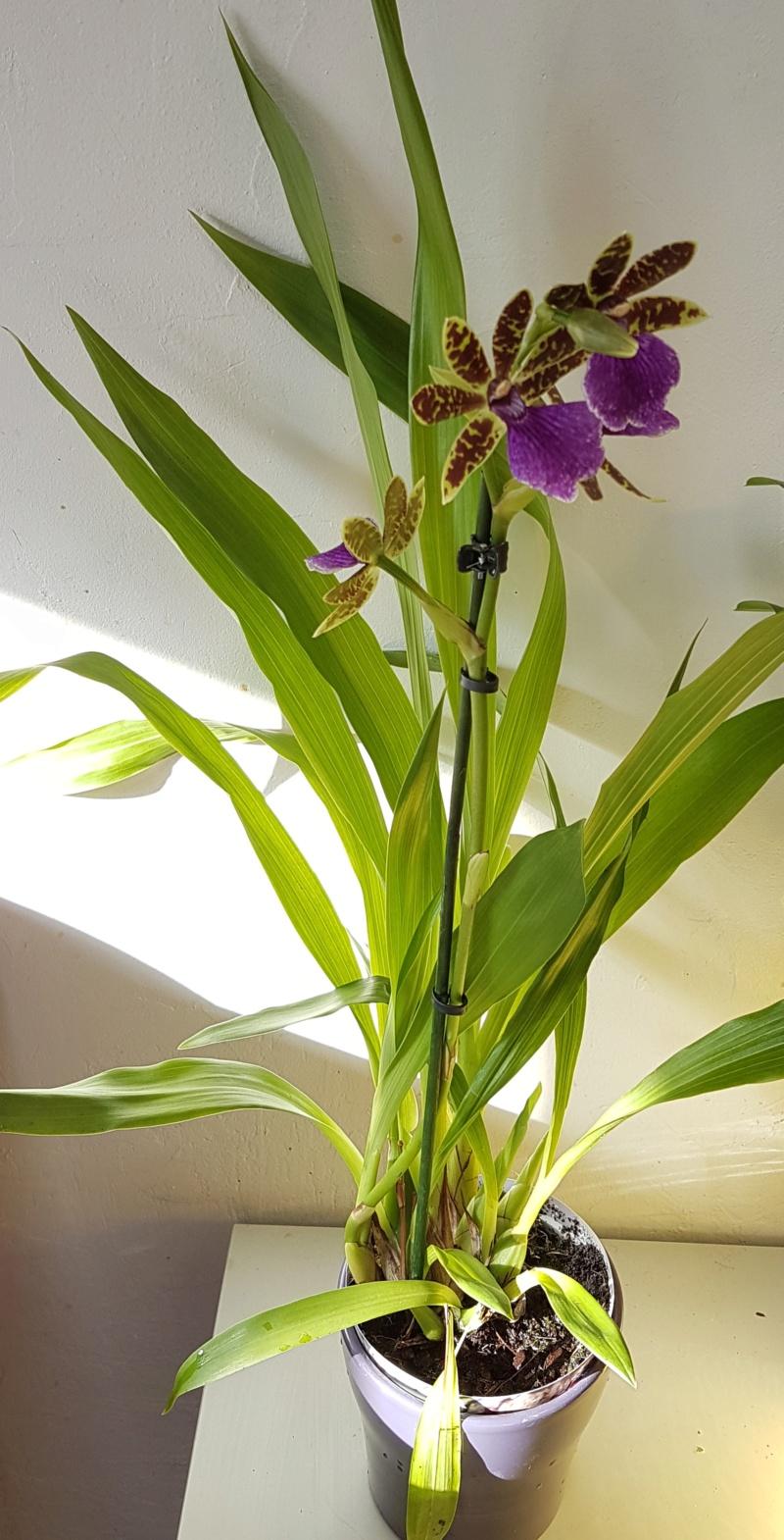 Mes orchidées et leur lieu de culture à la maison  20190314