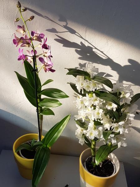 Mes orchidées et leur lieu de culture à la maison  20190315