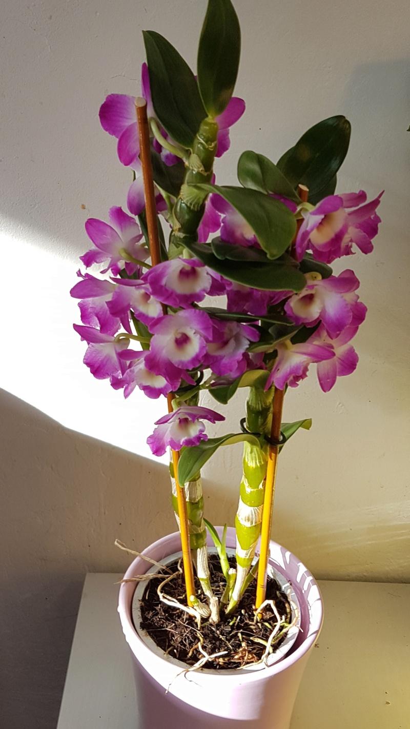 Mes orchidées et leur lieu de culture à la maison  20190316