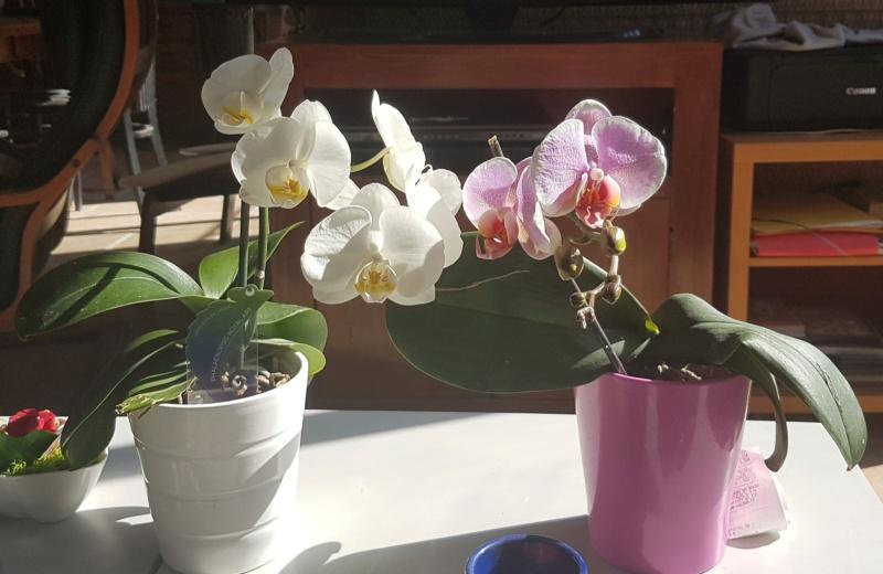 Mes orchidées et leur lieu de culture à la maison  20190410