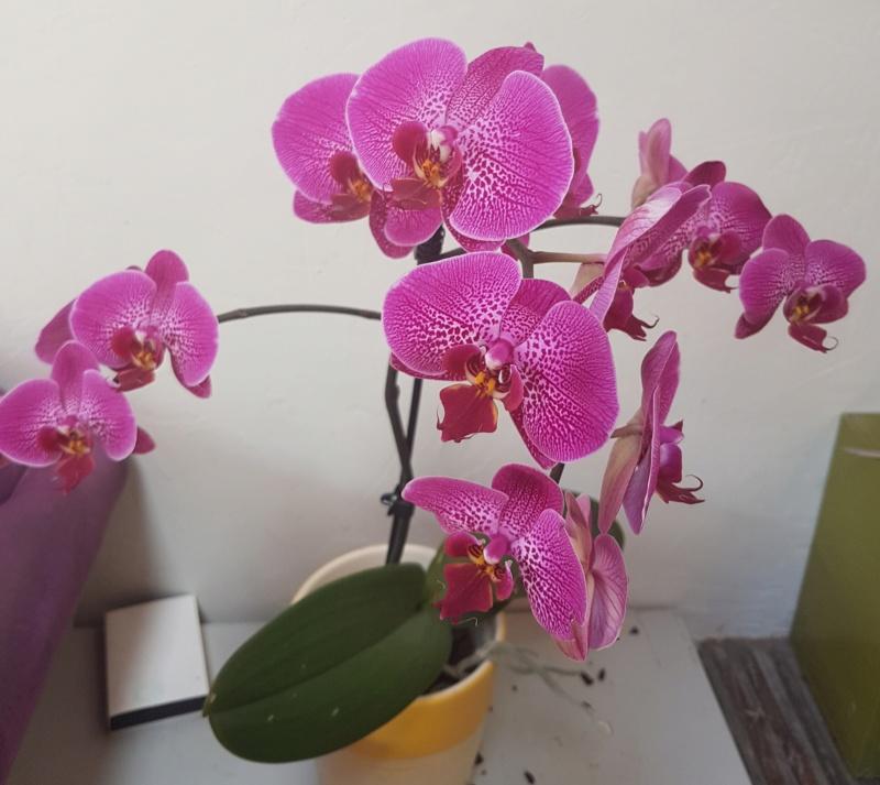 Mes orchidées et leur lieu de culture à la maison  20190412
