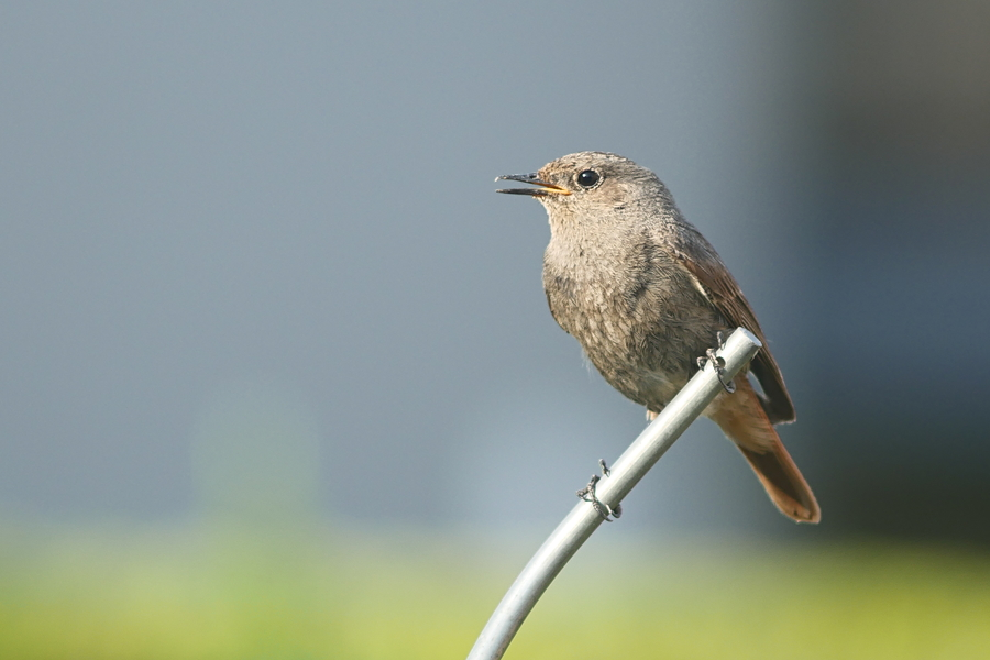 On fait ce qu'on peut avec les oiseaux qu'on a.... P1160414
