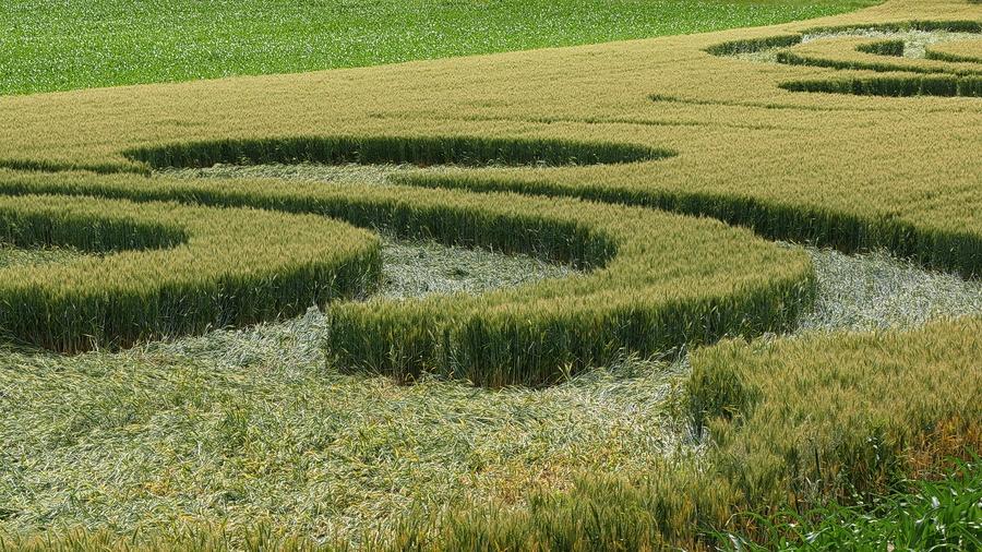 Crop-circle: quand des collégiens jouent aux extraterrestres. P1170012