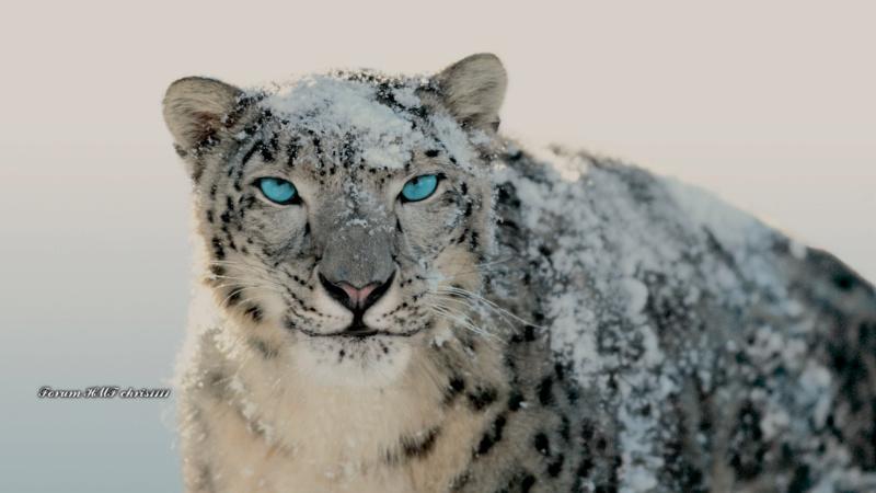Snow Leopard by chris1111 Deskto10
