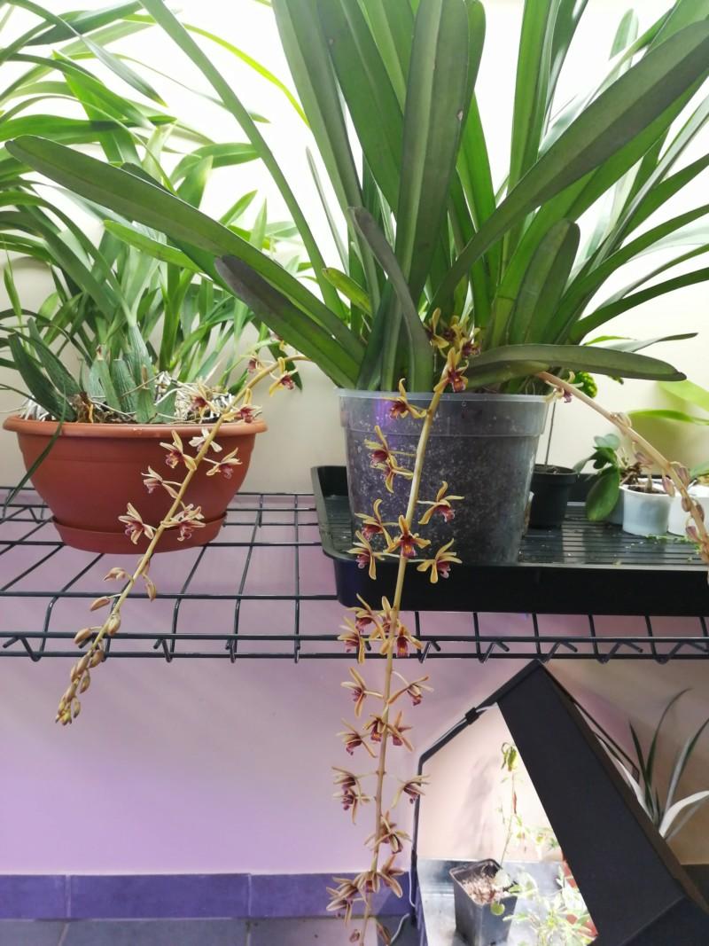 Cymbidium aloifolium 20190610