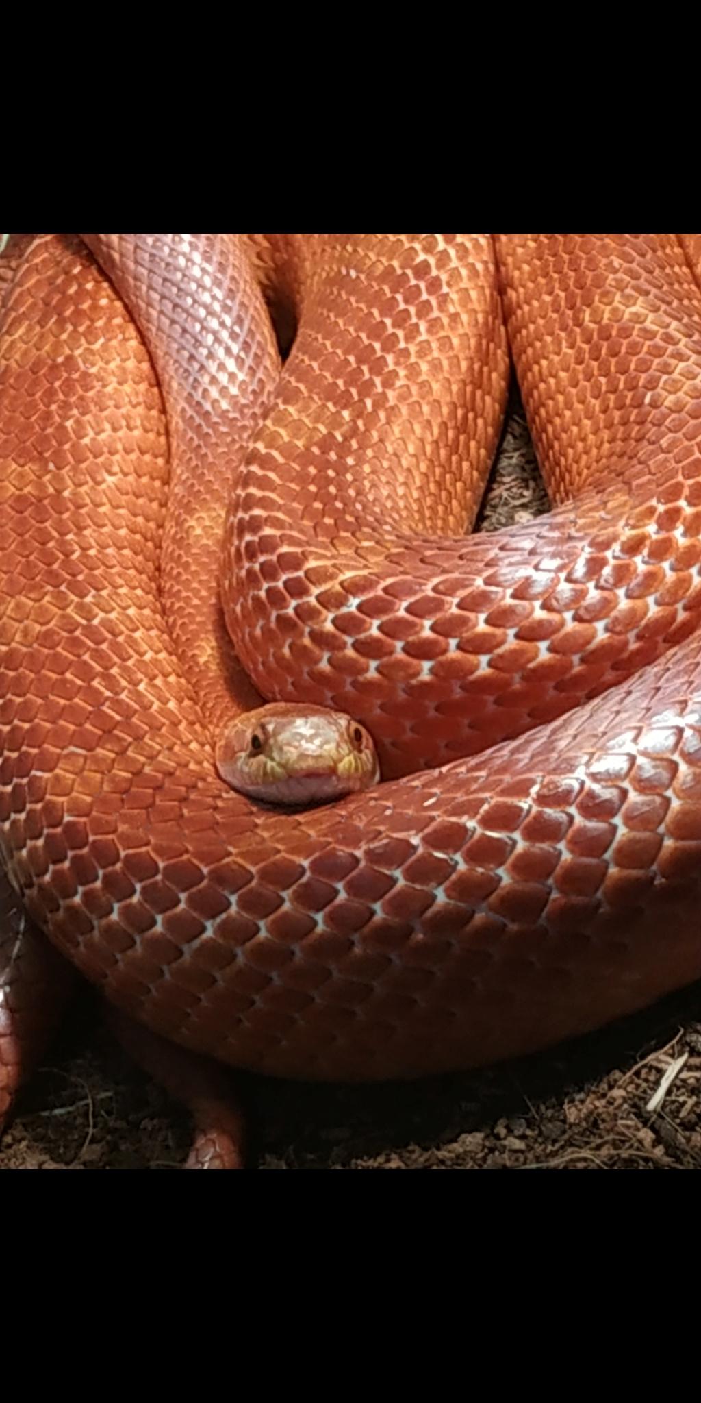 Serpent adulte qui mue très souvent Screen10