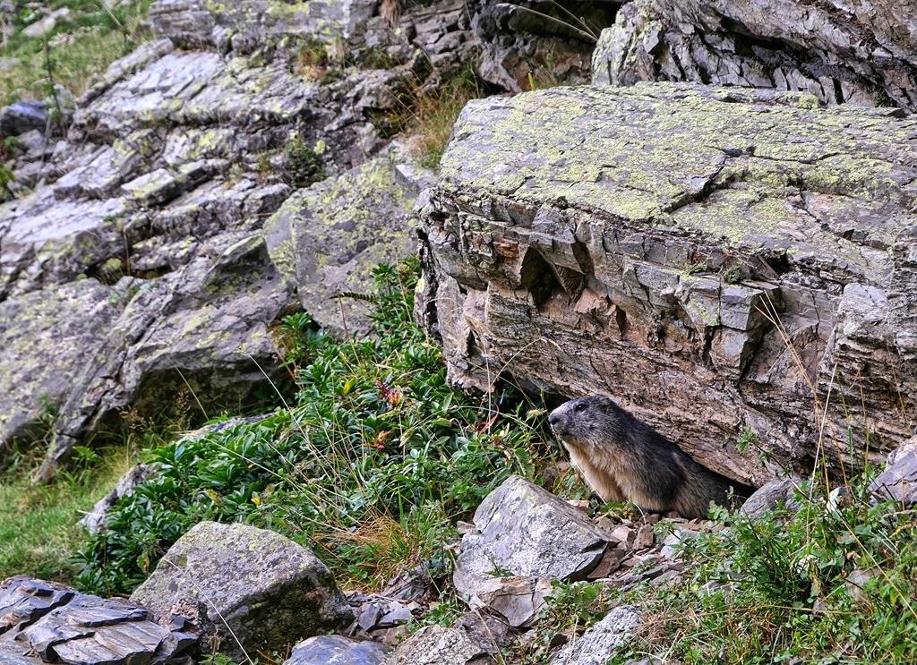 Marmottes Arrémoulits  Marmot11