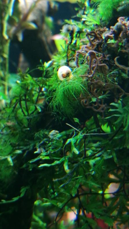 quelle est cette algue Img_2011