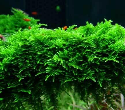 Algue pinceau Tropic10