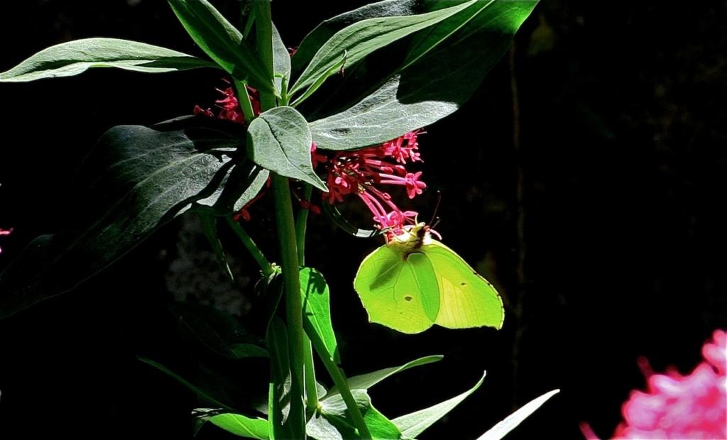 Saturnia pavonia et quelques autres Citron10