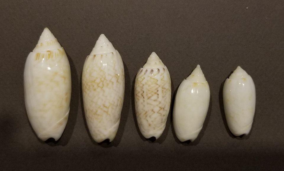 Americoliva reticularis ernesti (Petuch, 1990) Americ13