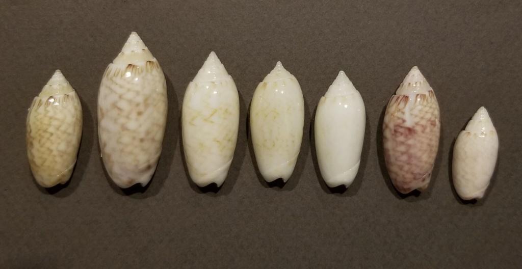 Americoliva reticularis ernesti (Petuch, 1990) Americ14