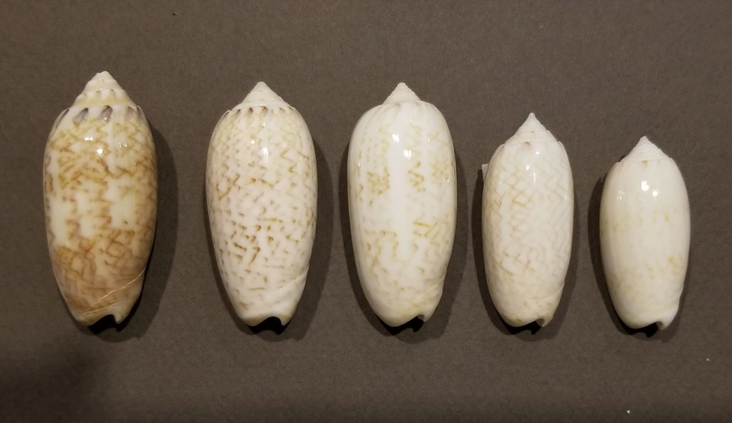 Americoliva reticularis ernesti (Petuch, 1990) Americ15