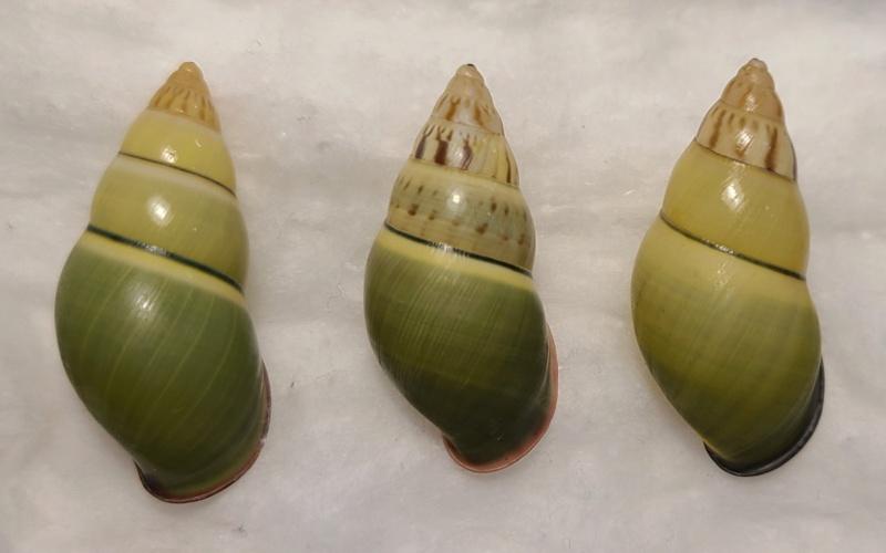 Sont-ils tous Amphidromus haemastoma ??? Amphid10