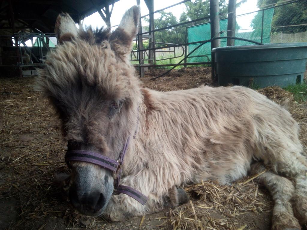 CALICHON - âne gris de petite taille - 25 ans Img_2033