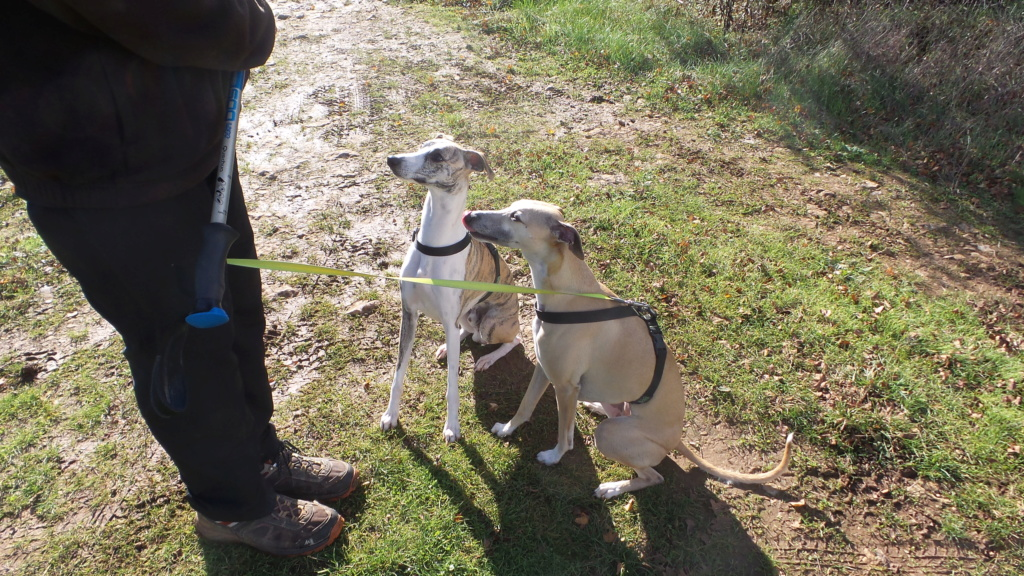 Mes deux whippets , Izzy et Nabucco  - Page 24 Cazals14