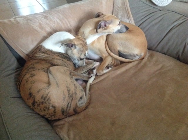 Mes deux whippets , Izzy et Nabucco  - Page 30 Image508