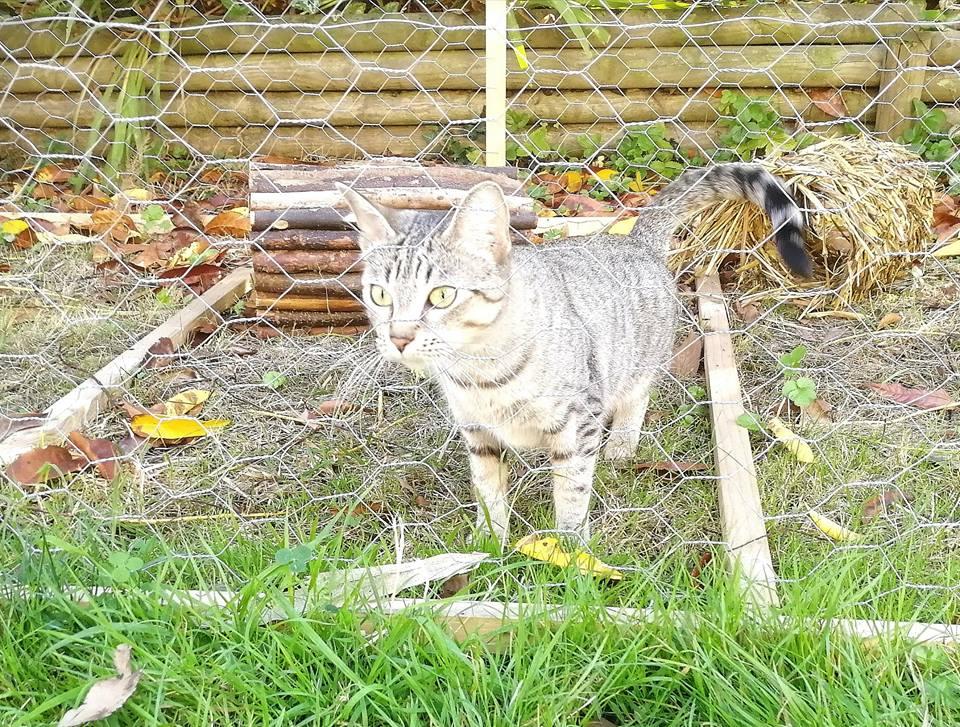 LALLIE, femelle grise Tabby, type Européenne, née le 19/09/2015 44310911