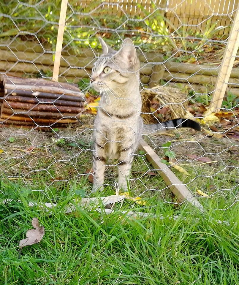LALLIE, femelle grise Tabby, type Européenne, née le 19/09/2015 44333011