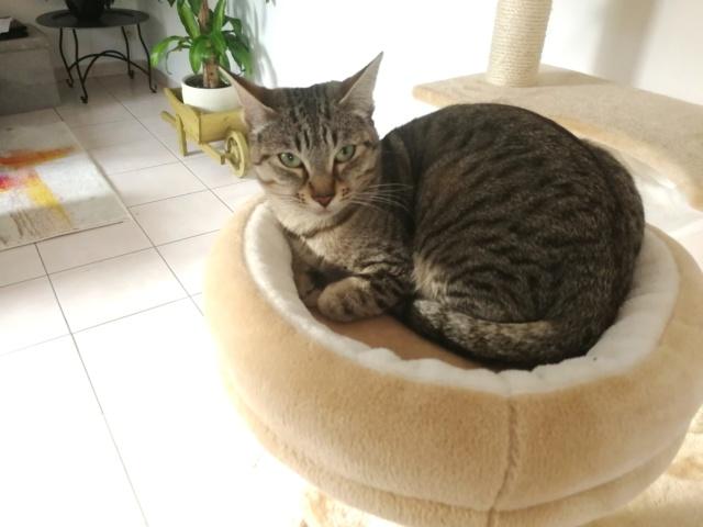 LALLIE, femelle grise Tabby, type Européenne, née le 19/09/2015 Img_2027