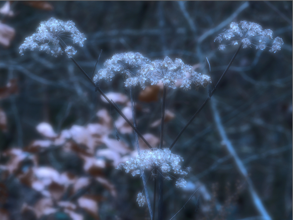 En hivers Fleurs10