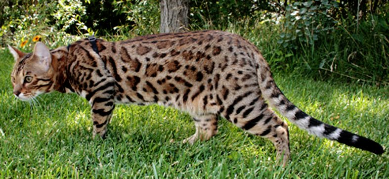 oooh here I go again  Leopardpaw of Riverclan Leapar10