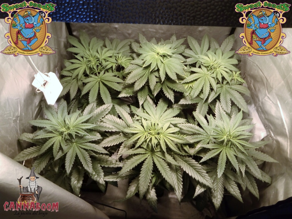 Crystal Candy® de Sweet Seeds® + Cannaboom 10_nov10
