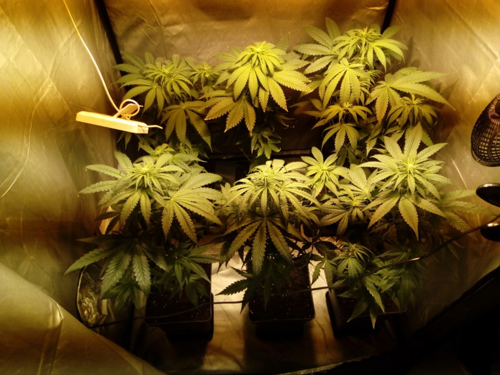 Crystal Candy® de Sweet Seeds® + Cannaboom Img-2024