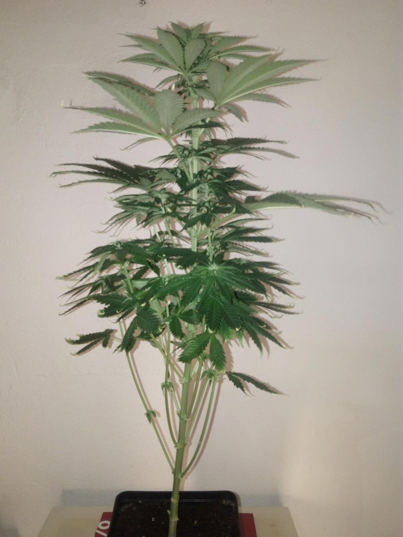 Crystal Candy® de Sweet Seeds® + Cannaboom - Página 2 Img_2038