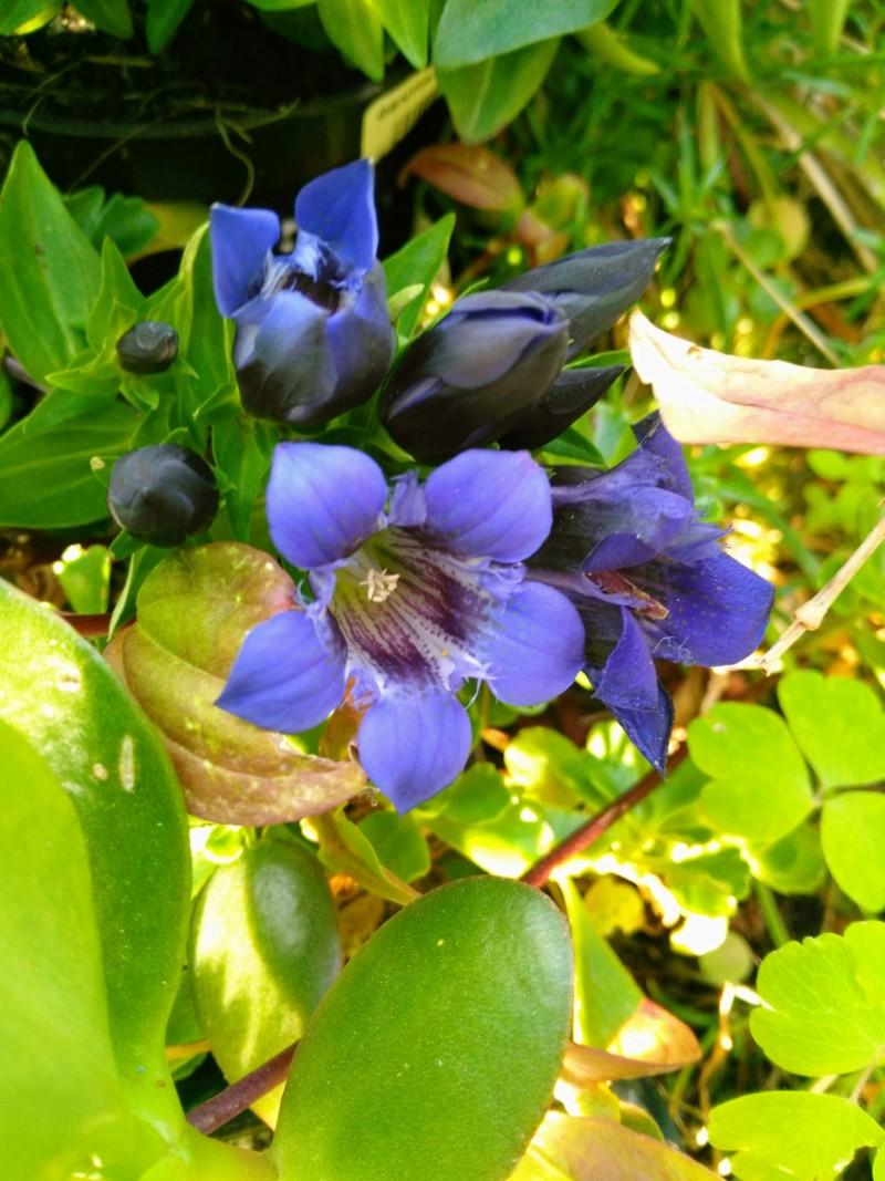 Dix belles bleues dans mon jardin 20180753