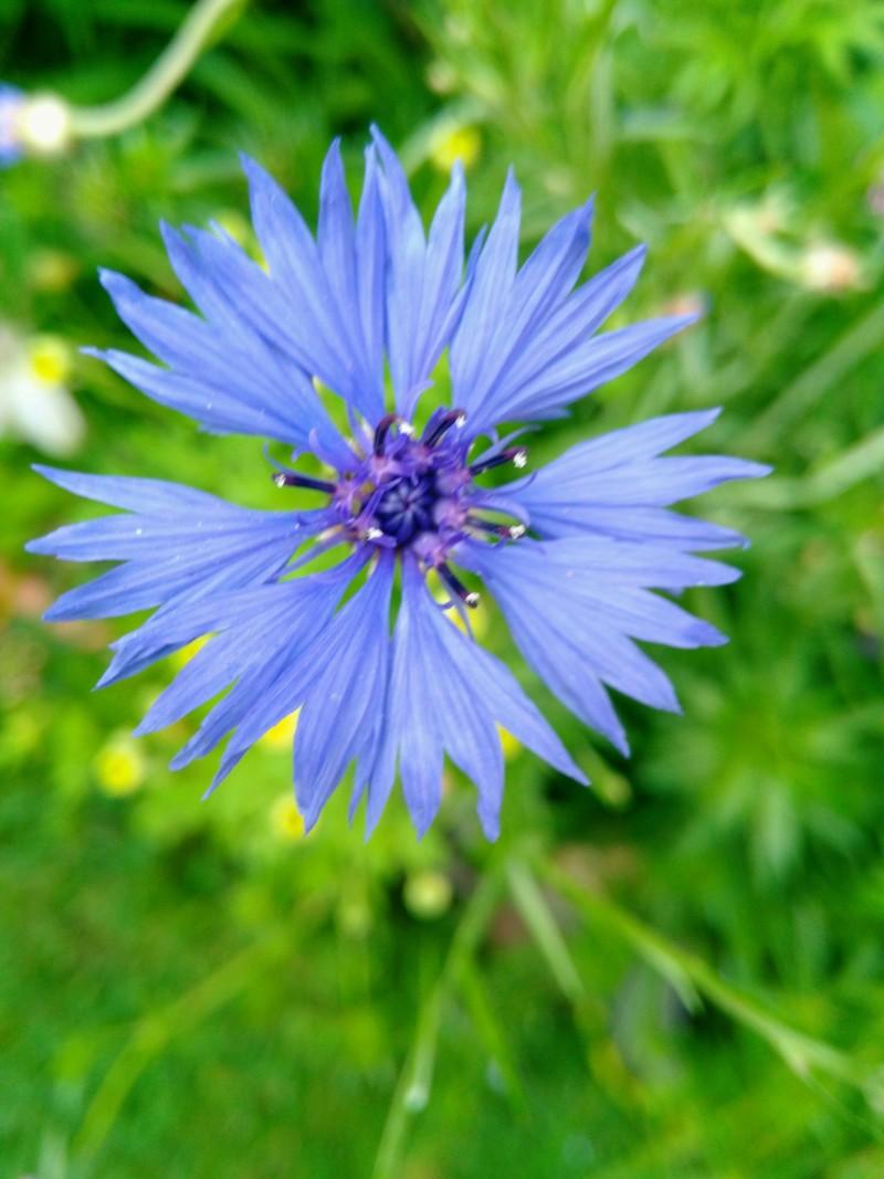 Dix belles bleues dans mon jardin 20180756
