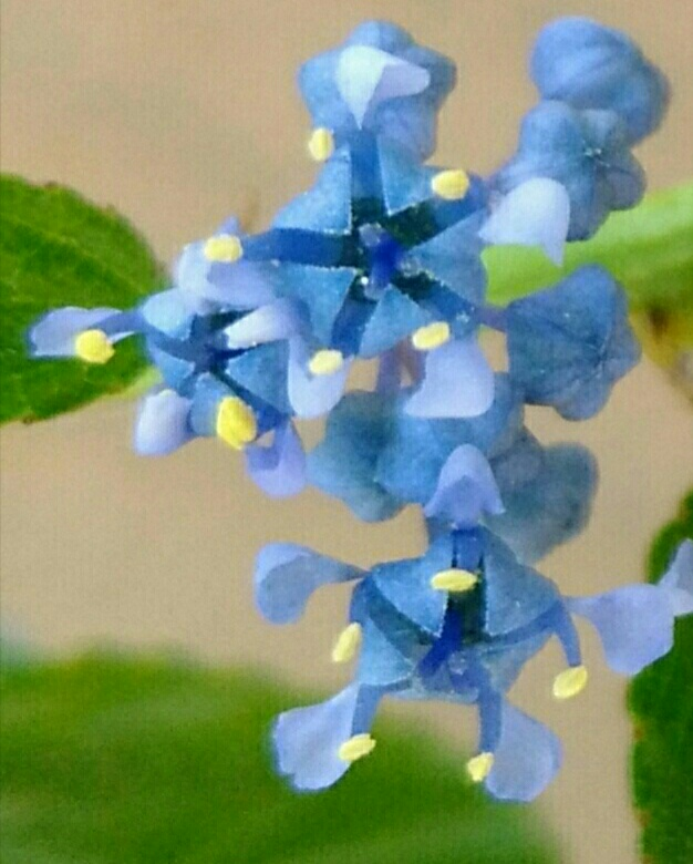 Dix belles bleues dans mon jardin 20180759