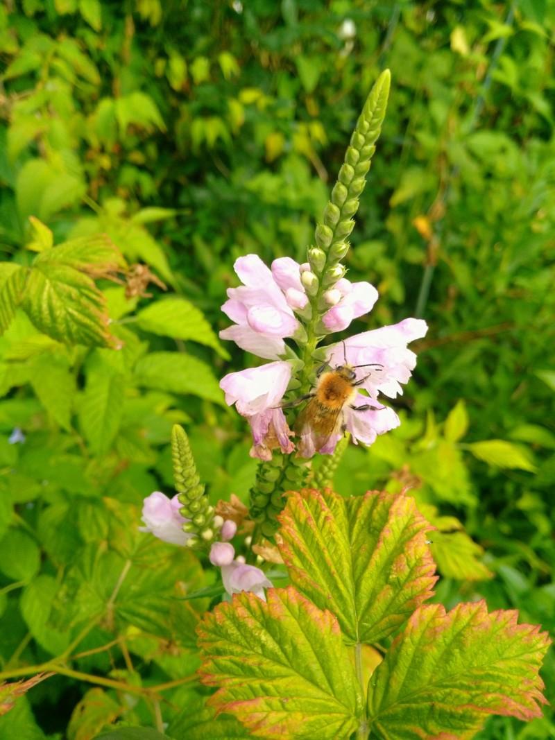 Quelques floraisons et leurs visiteurs malgré la sécheresse 20180766
