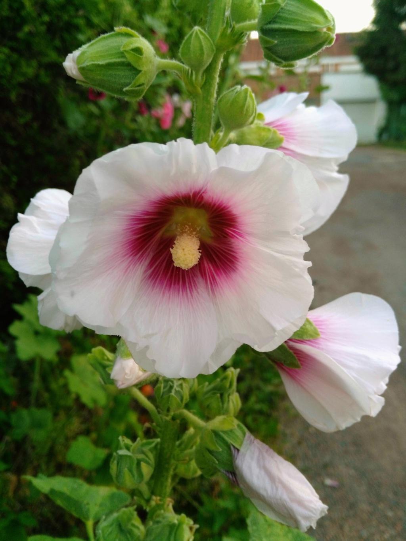 Une fleur de rose trémière au jardin. Img_2015