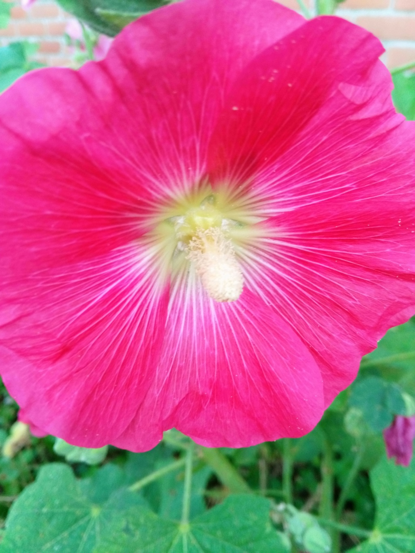 Une fleur de rose trémière au jardin. Img_2016