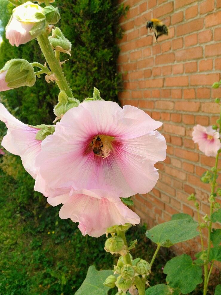 Une fleur de rose trémière au jardin. Part_111