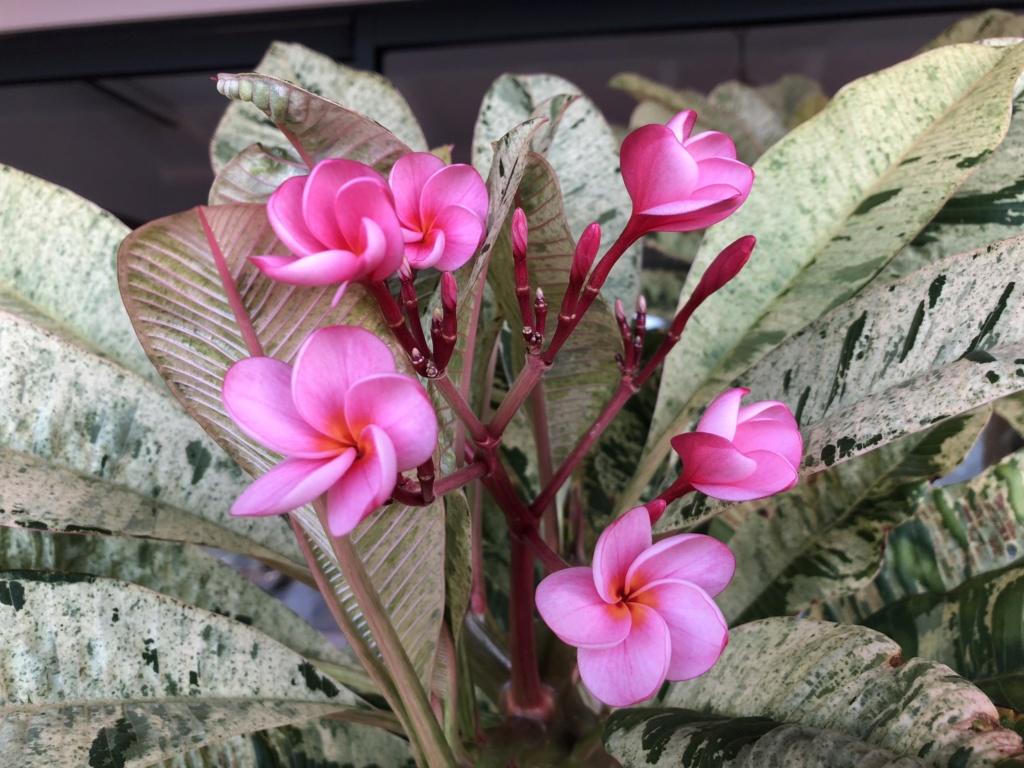 "Plumeria ""Maya"" 303ac210"