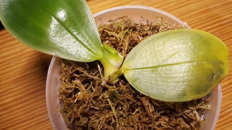 Kranke Phalaenopsis bellina coerulea 20190117