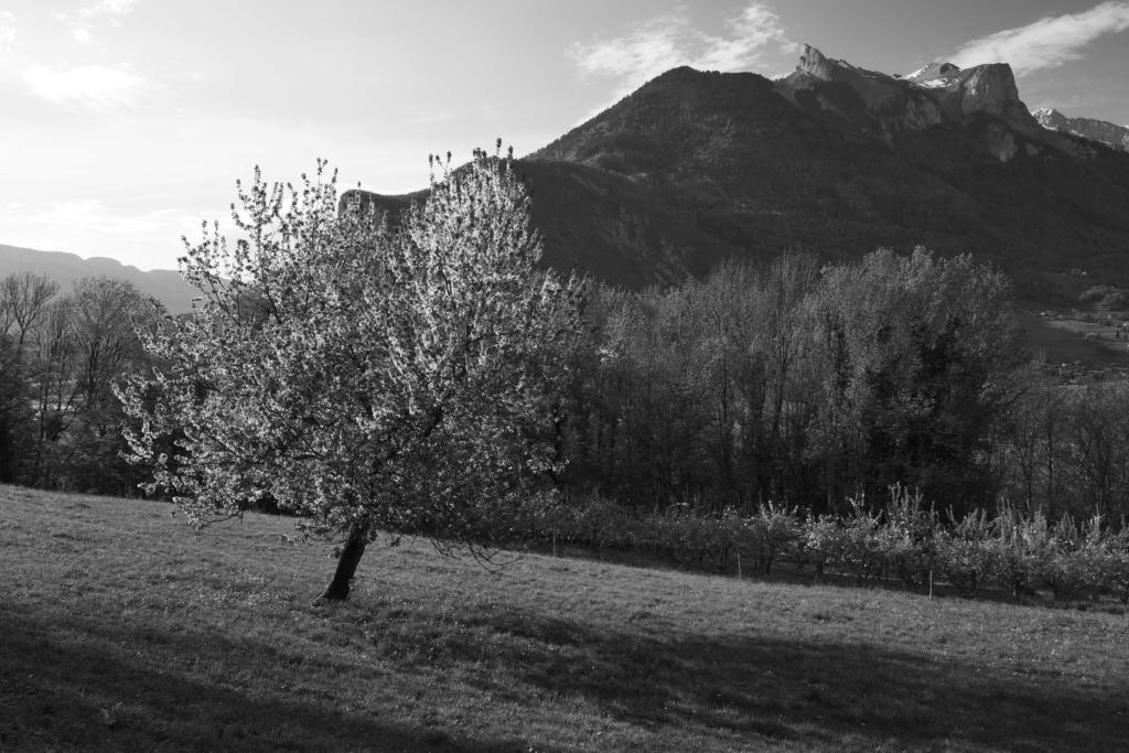 La montagne et le cerisier... P1034611