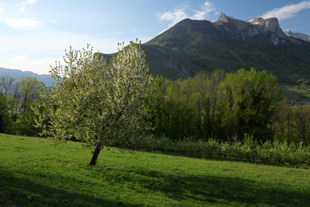 La montagne et le cerisier... P1034612